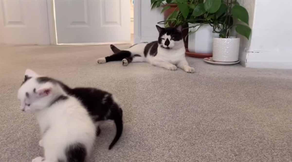 gatto maschio lontano dai gattini