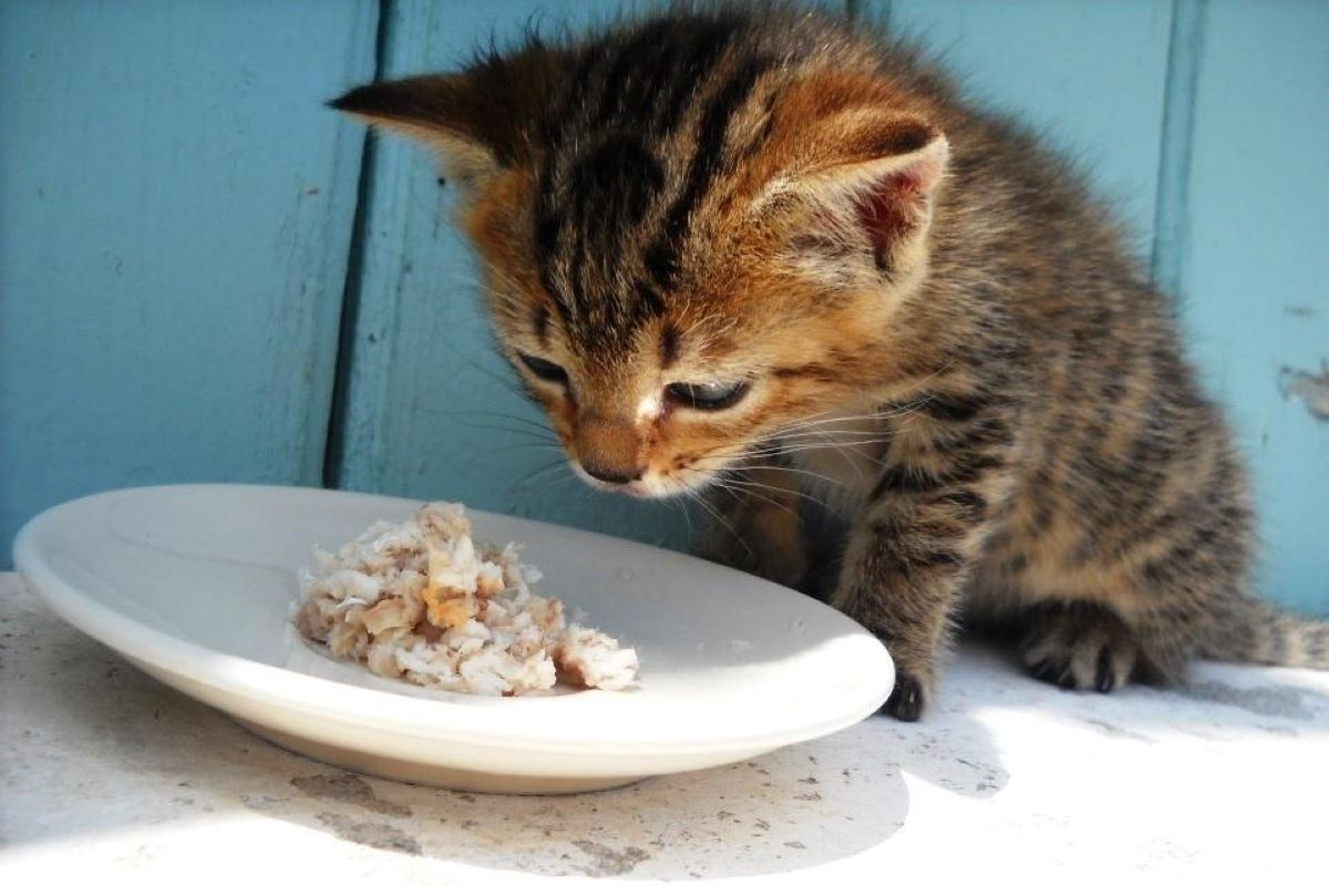 gattino mangia