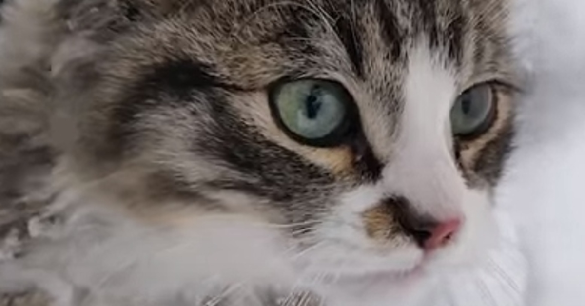 Hytch gattino Bobtail video