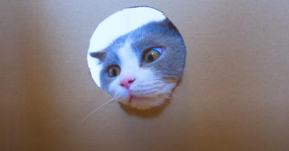 Gatto che gioca con una scatola