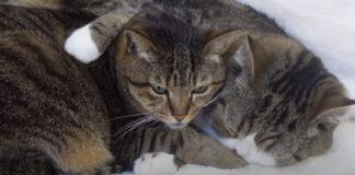 I due gattini adorano dormire abbracciati, rendendosi protagonisti di un momento magico (video)2