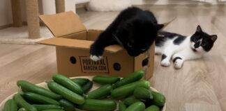 Gatti con dei cetrioli