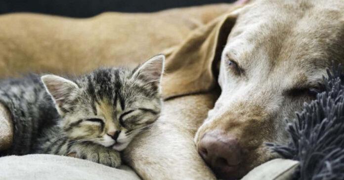 Gattino dorme con un cane