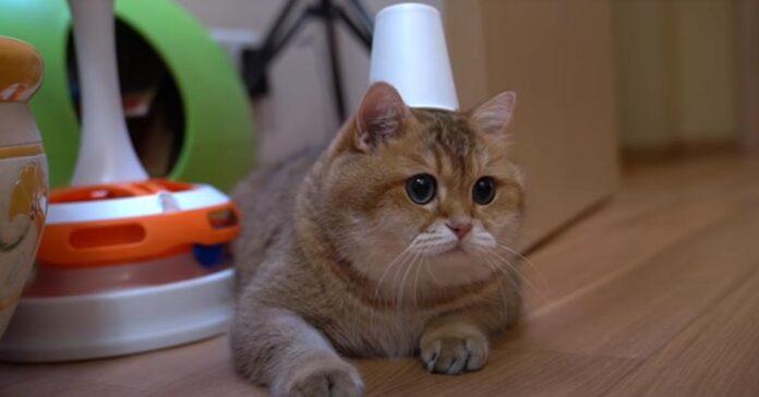 Il Gatto con un bicchiere in testa
