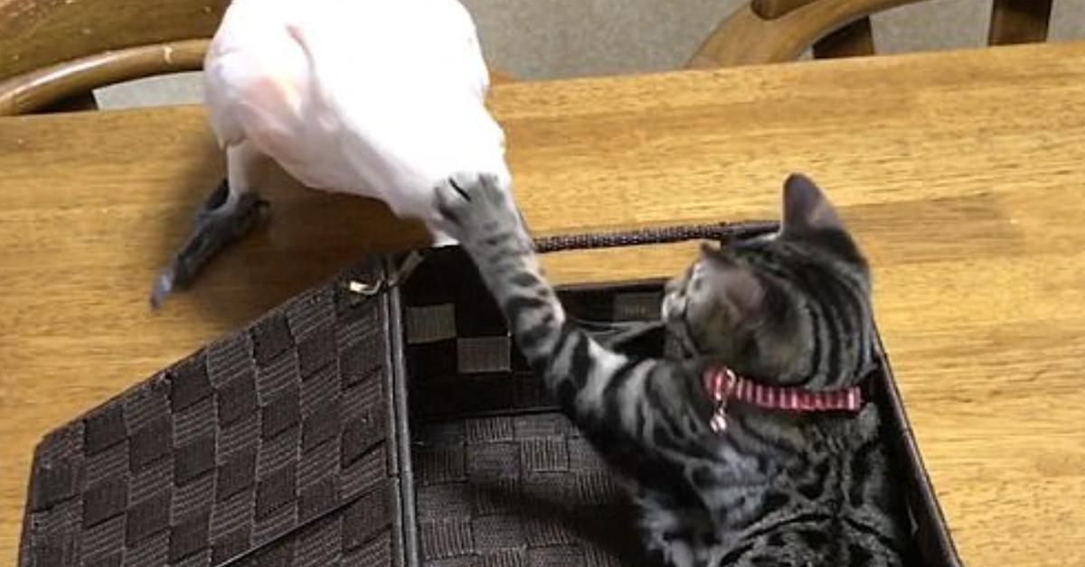 gattino Koume cacatua video