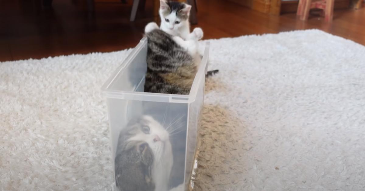 Gatti che giocano
