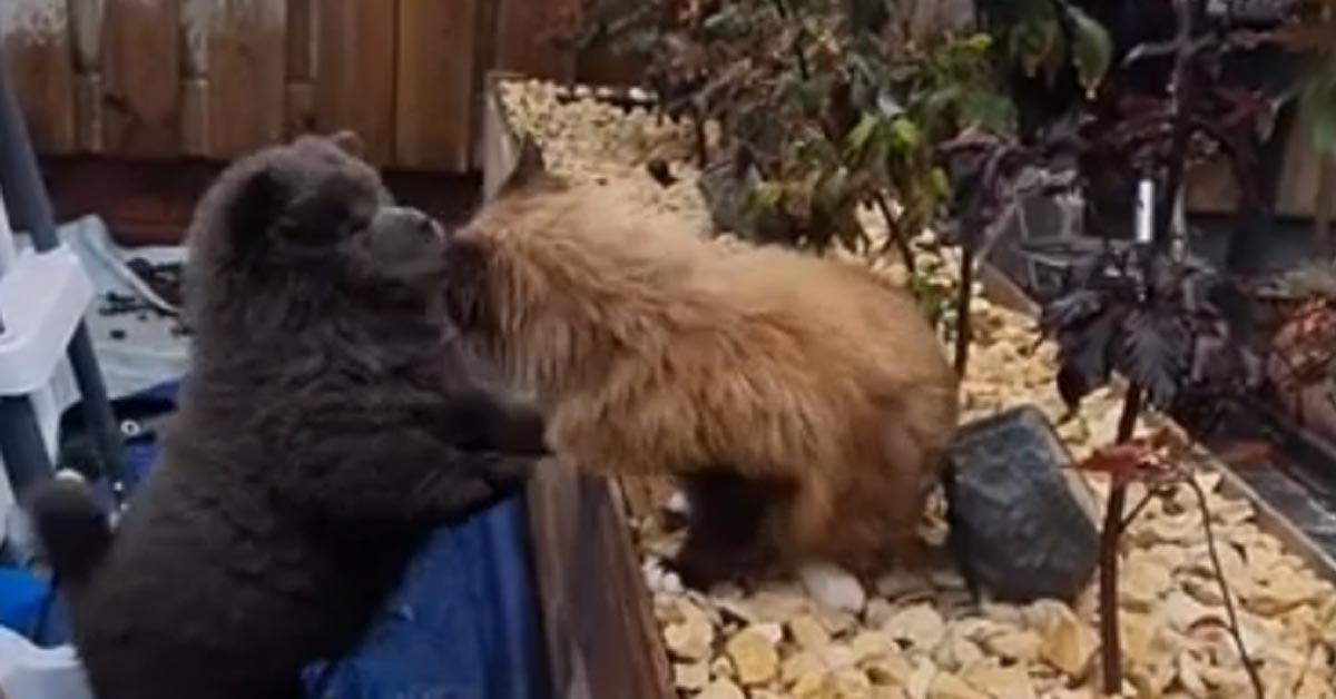 Gattino Ragdoll che gioca con un cucciolo di Chow Chow