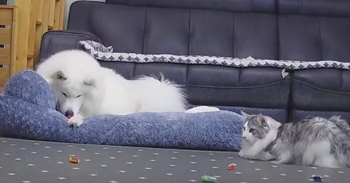 Gatto gioca con un Samoiedo