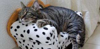 Gatto su una poltroncina