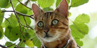 gattina del bengala coccola i figli appena nati