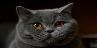 gattino British Shorthair cancello video