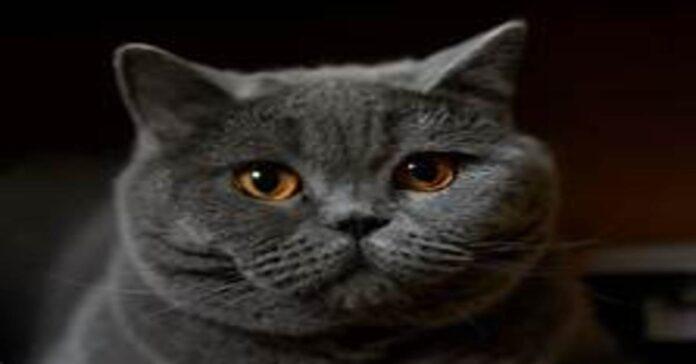 gattino British Shorthair cancello video