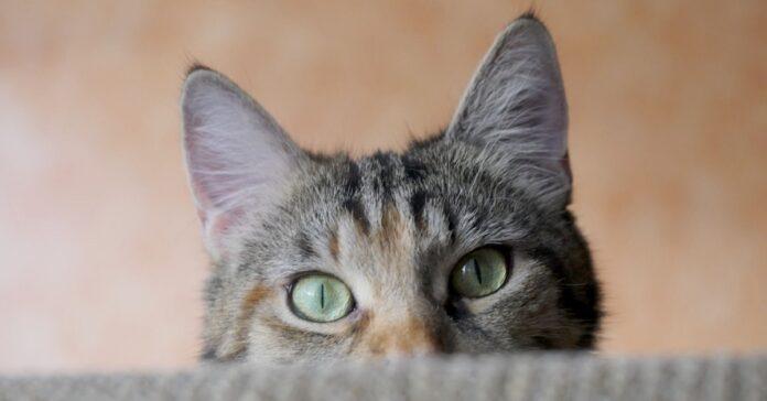 gatto dietro divano