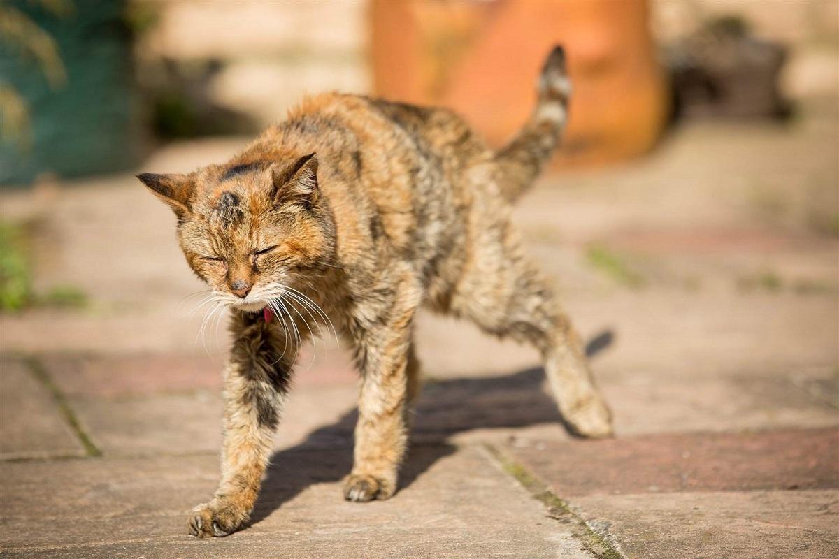 gatto che ha problemi di deambulazione