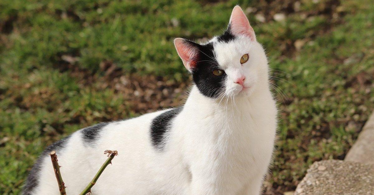 gatto bianco con macchie nere sul muso