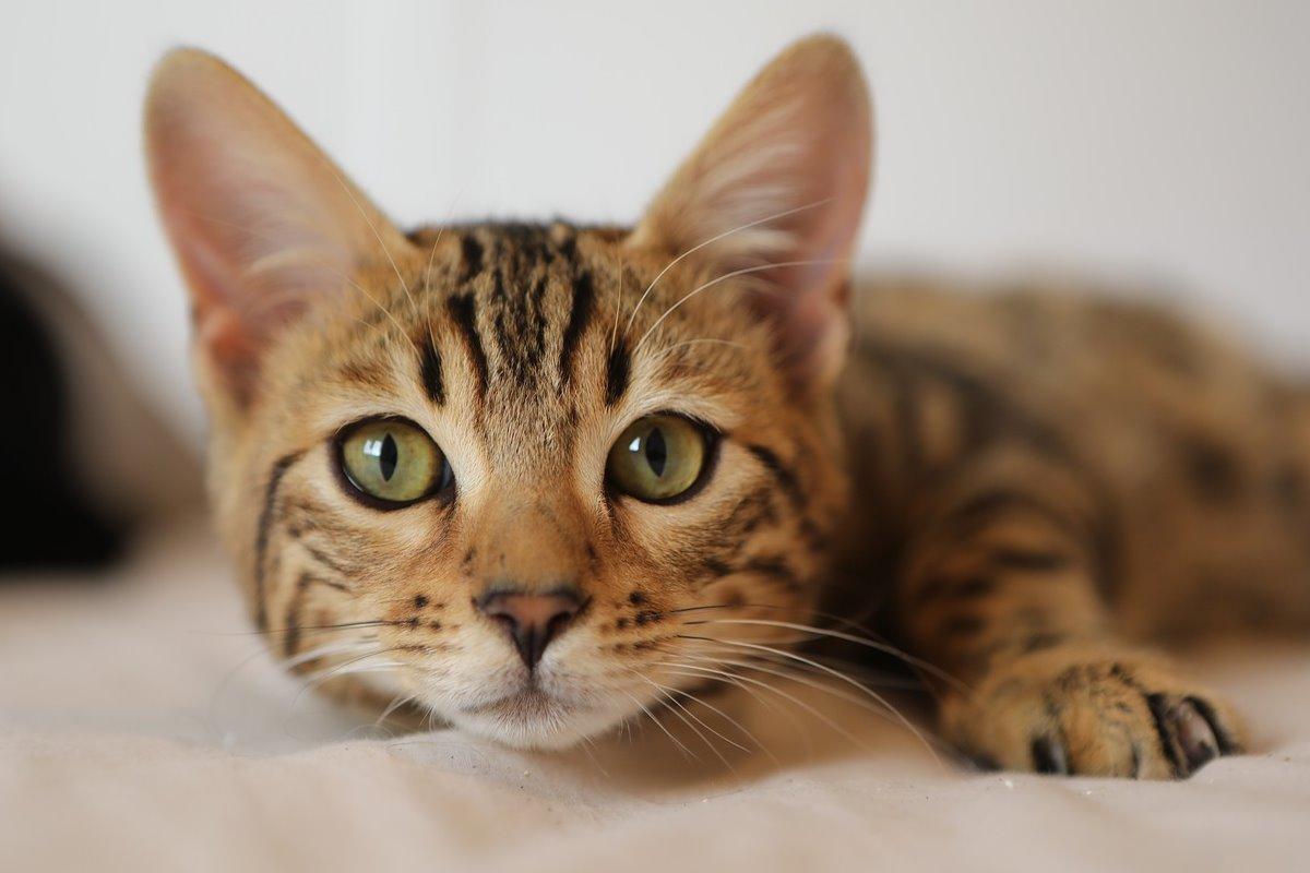 gattino con il mantello maculato