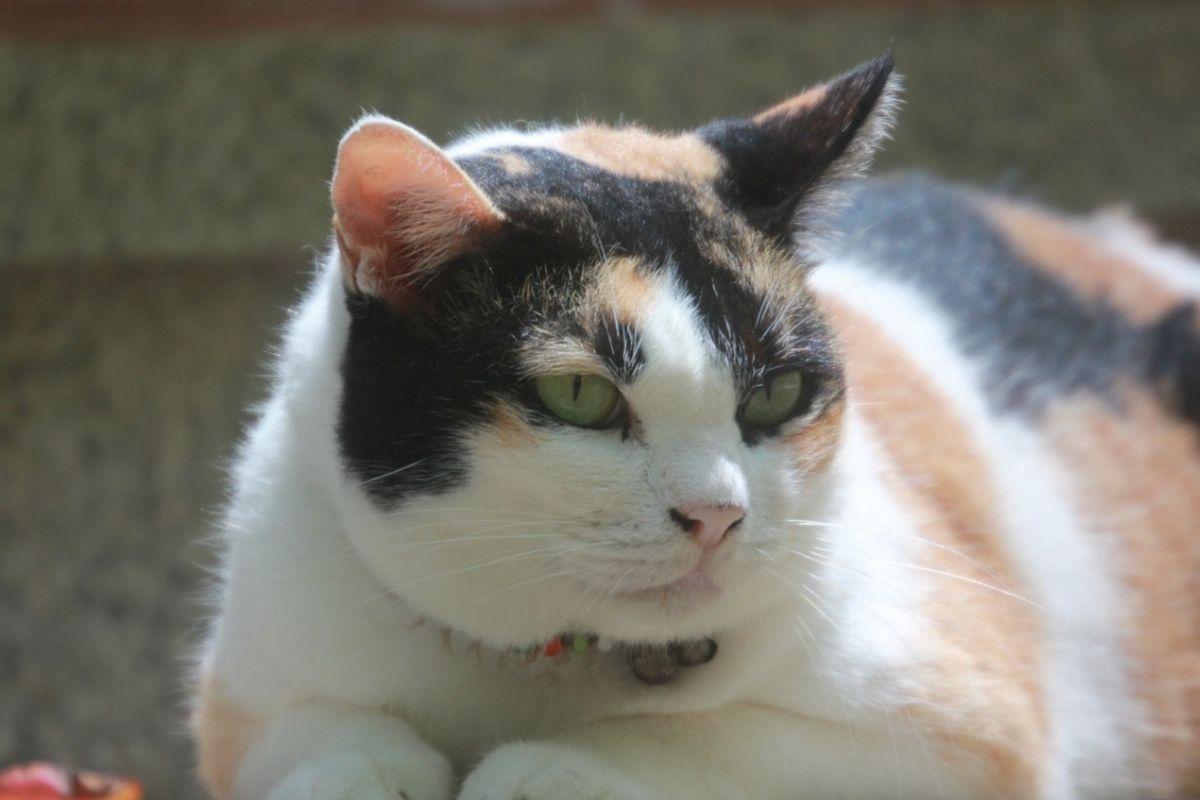 gatto sovrappeso rannicchiato