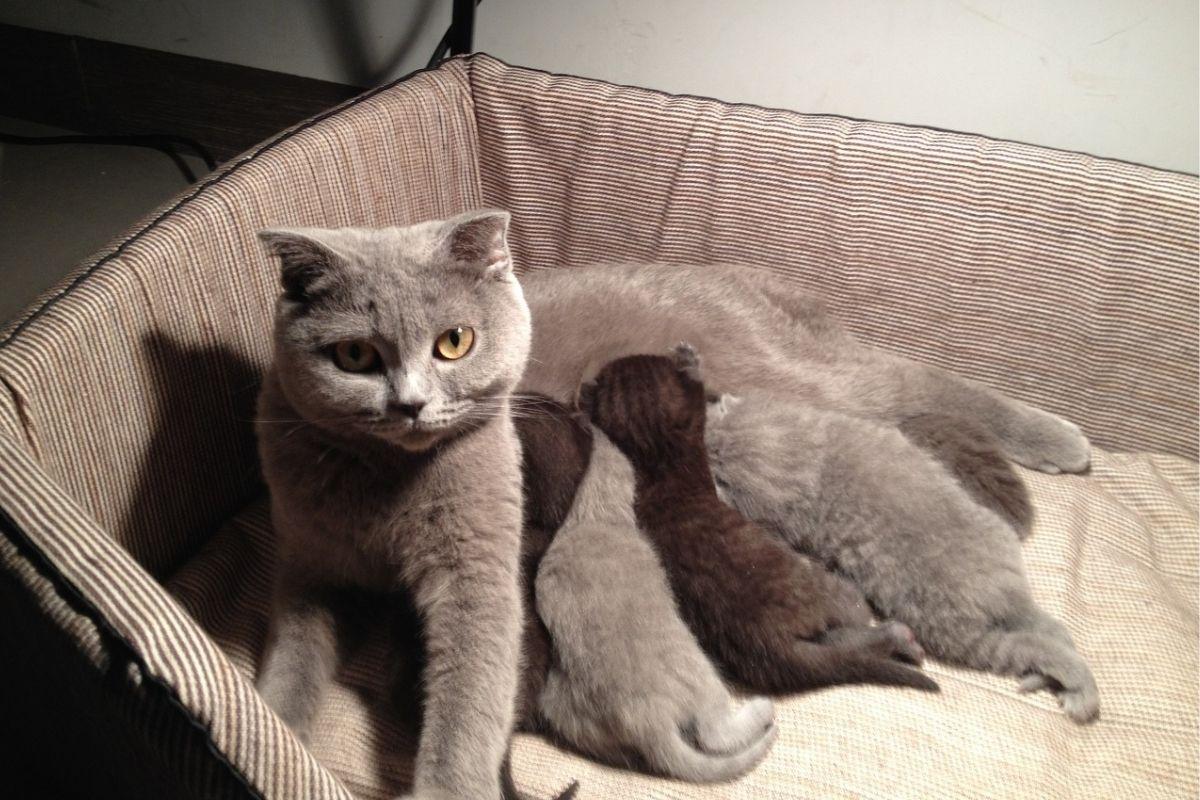 gatta grigia che allatta i suoi cuccioli