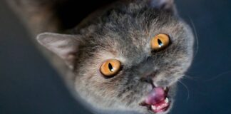 gatto certosino che miagola