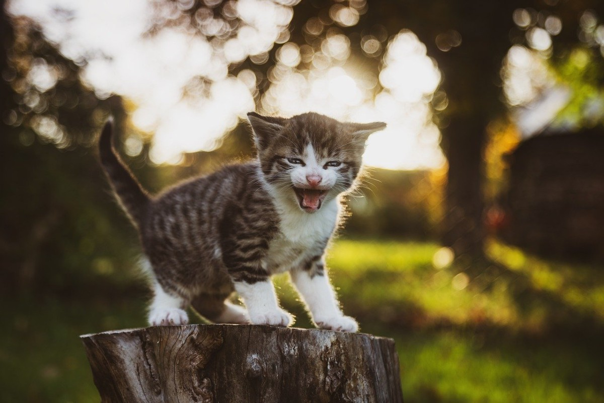 gattino che piange
