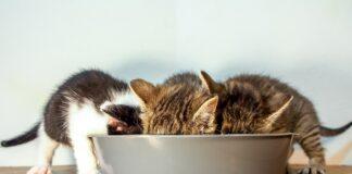 tre gattini che mangiano