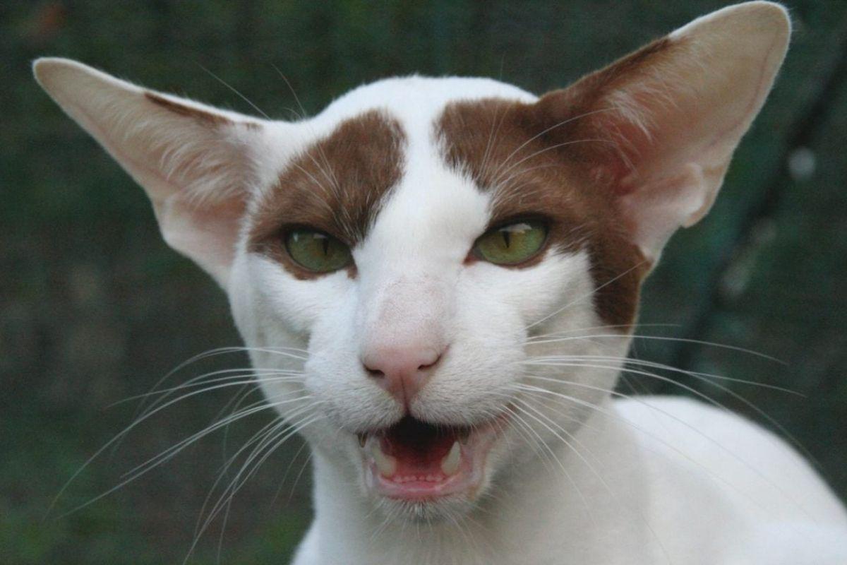 gattino dalle orecchie grandi e occhi verdi