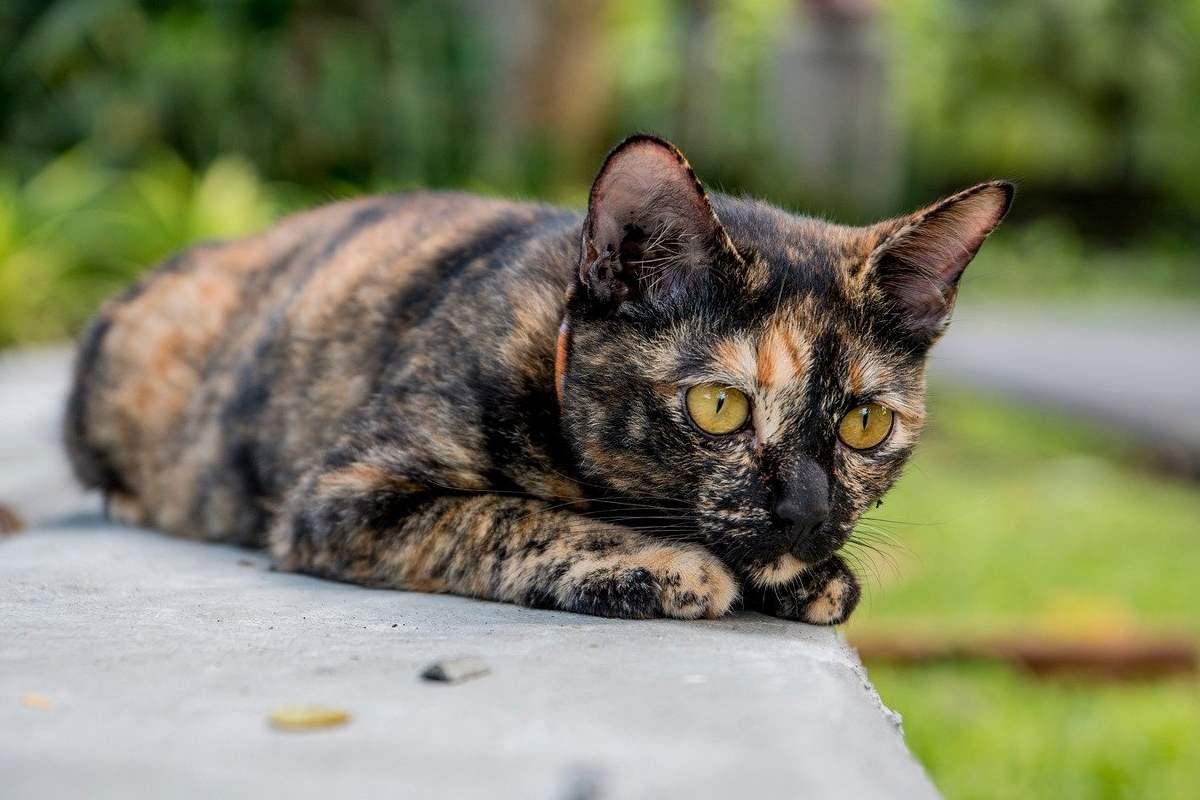 gatto con il mantello nero e marrone