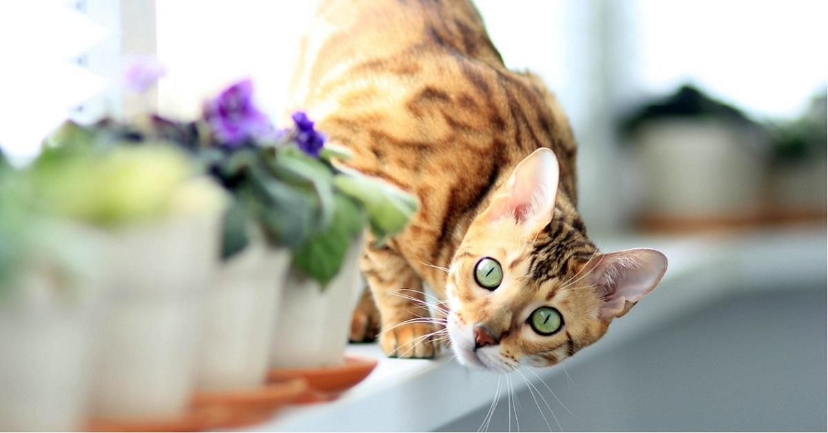gatta del bengala incinta si spaventa quando sente i gattini scalciare nella pancia