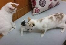due gatti e un gattino