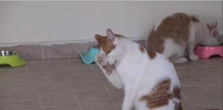 gatto che si lecca