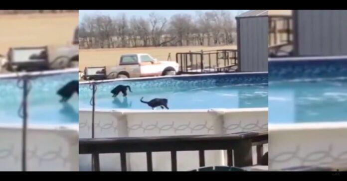 gatti camminano su piscina ghiacciata
