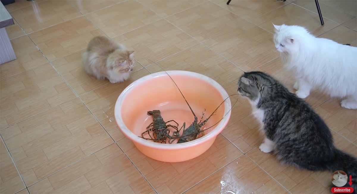 gatti e aragoste