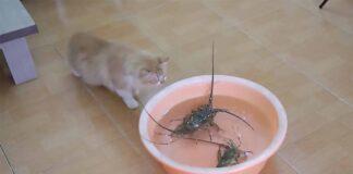 gatto che guarda l'aragosta