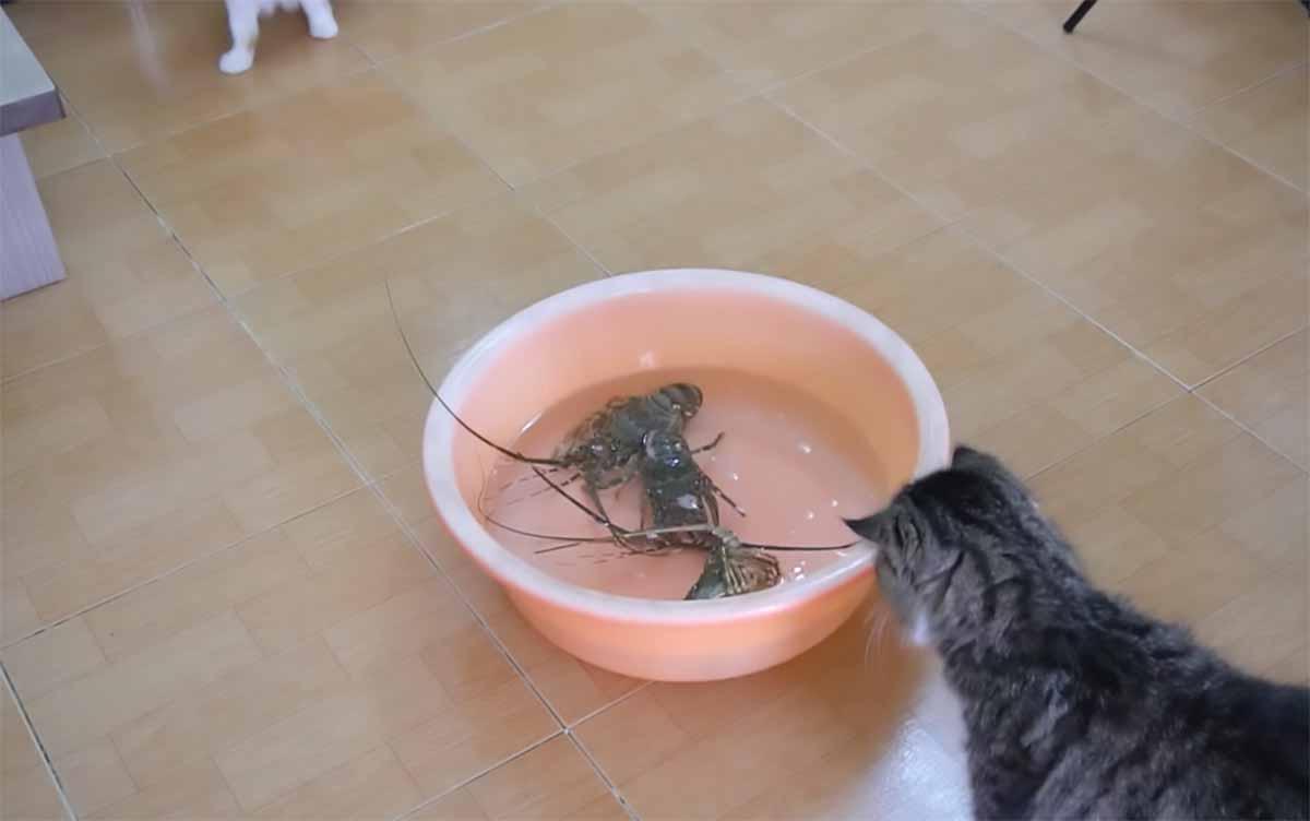 i gatti vedono le aragoste