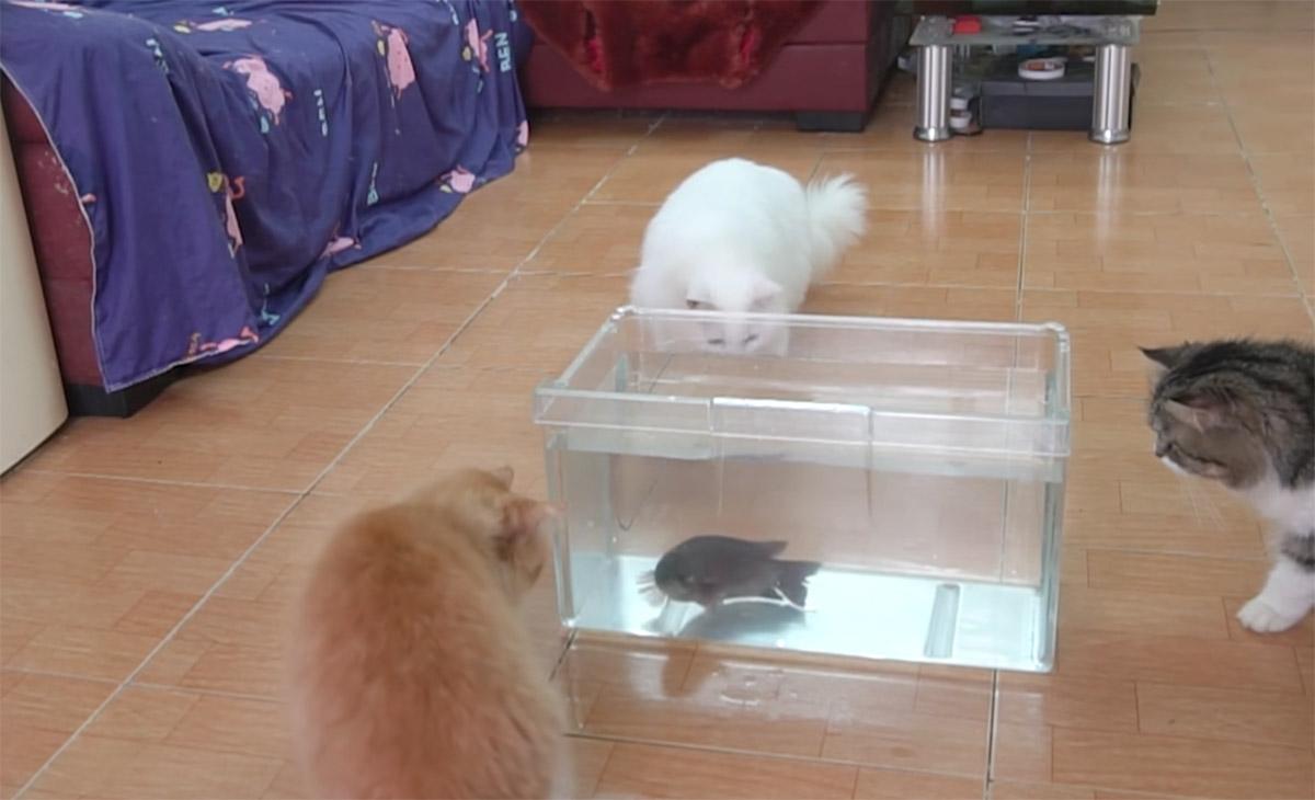 gatti guardano pesce in una vasca