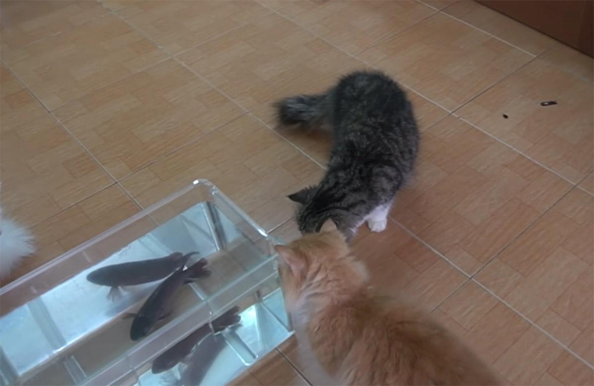 gatti che guardano un pesce