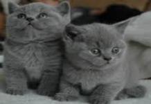 gattini grigi