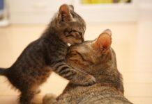 gattino bacia mamma