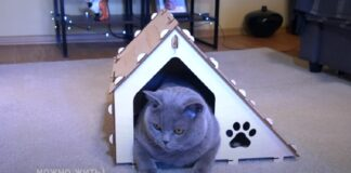 gattino British Shorthair supervisiona la costruzione della nuova cuccia