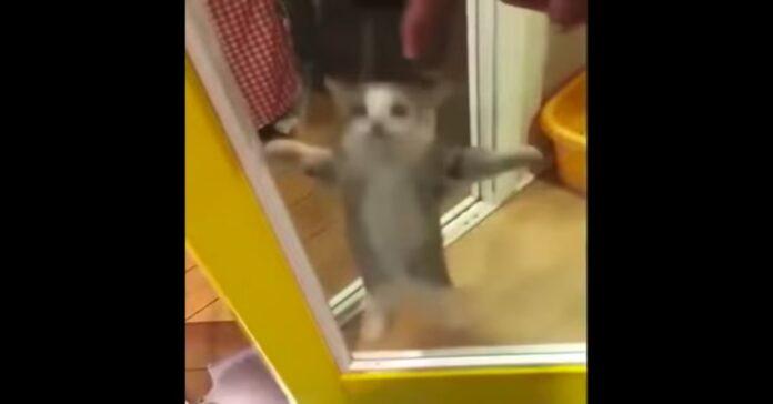 gattino balla la canzone aserejé