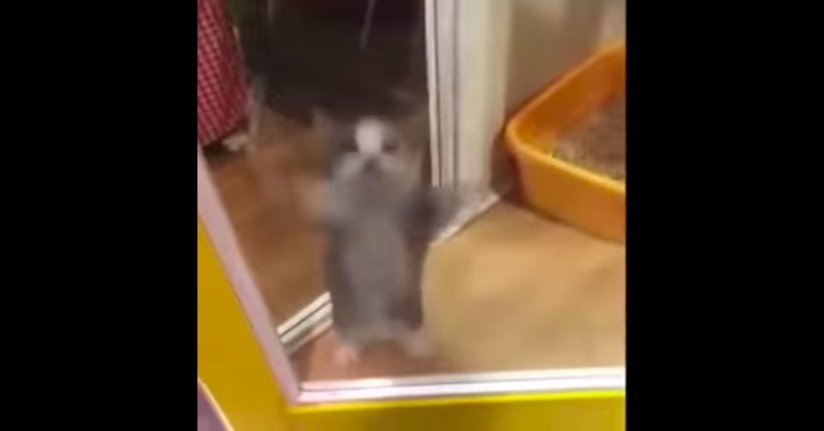 gattino bianco e grigio balla aserejé