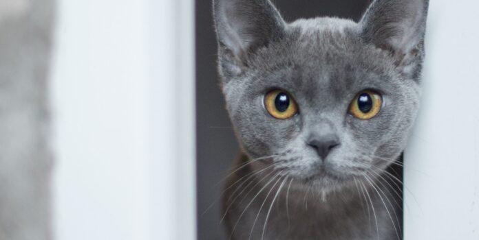 gattino gioca a nascondino con la padrona