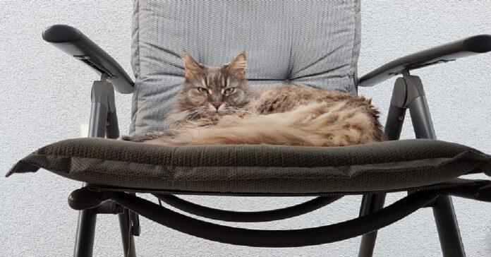 gattino maine coon cade sua sedia dondolo video