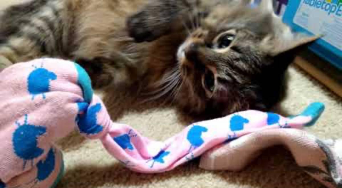 maine coon gattino con un calzino