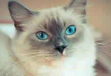 gattino ragdoll chiede più coccole proprietaria dolci video