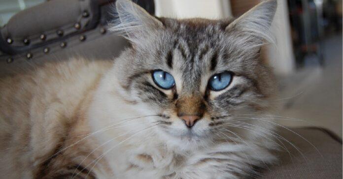 gattino soriano si arrende difficoltà del gioco video