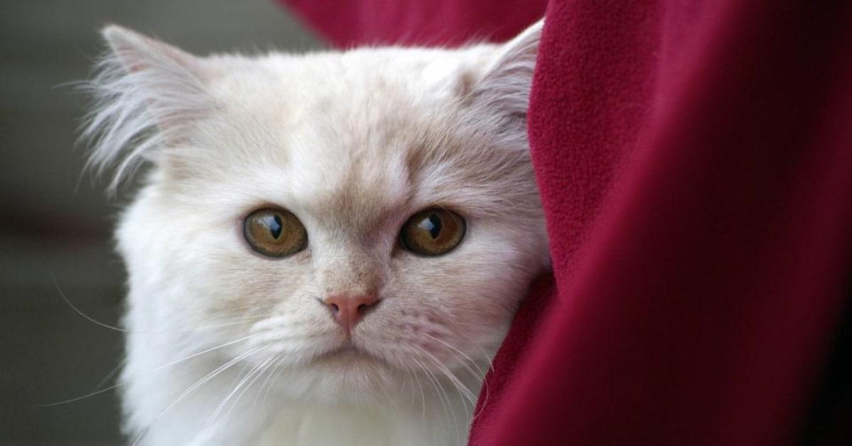 gatto bianco primo piano