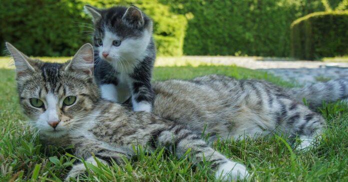 rapporto gatto e gattino