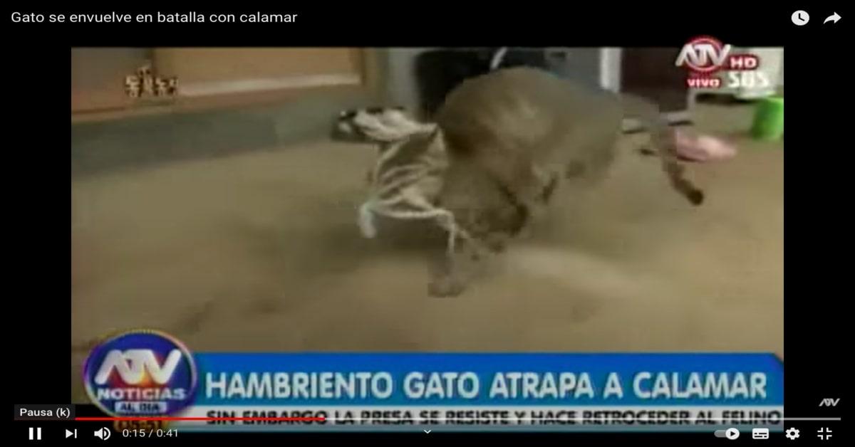 gatto con calamaro attaccato al muso