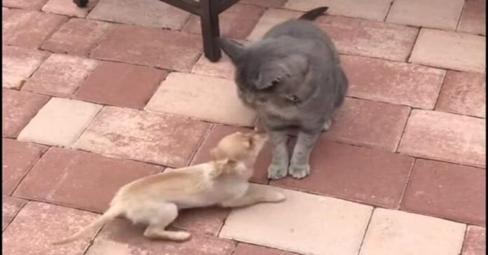 gatto gioca con chihuahua